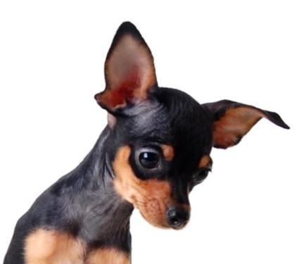 Mini Mädchen / Welpe Russkiy Toy / Russischer Toy Terrier