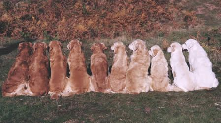 Different Shades Of Golden Retrievers | another picture from the same site, just because I like retrievers ...