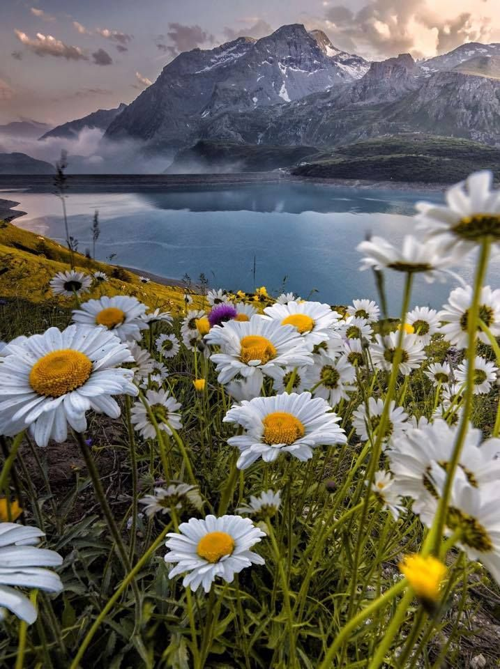Daisies and lake and mountain