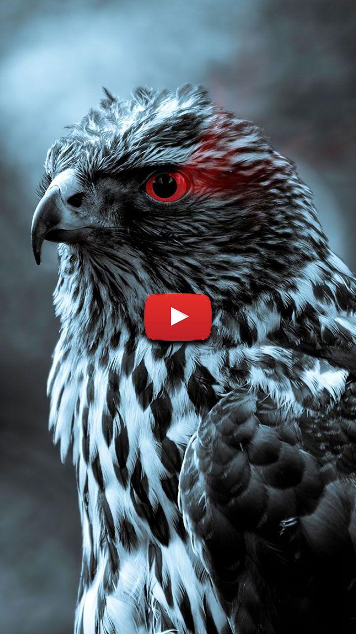 Bird Of Prey Wallpaper Falcon Wallpaper Birds Hawk Wallpaper Aesthetic Raptor Bird Of Prey In 2020 Live Wallpapers Prey Raptor Bird Of Prey