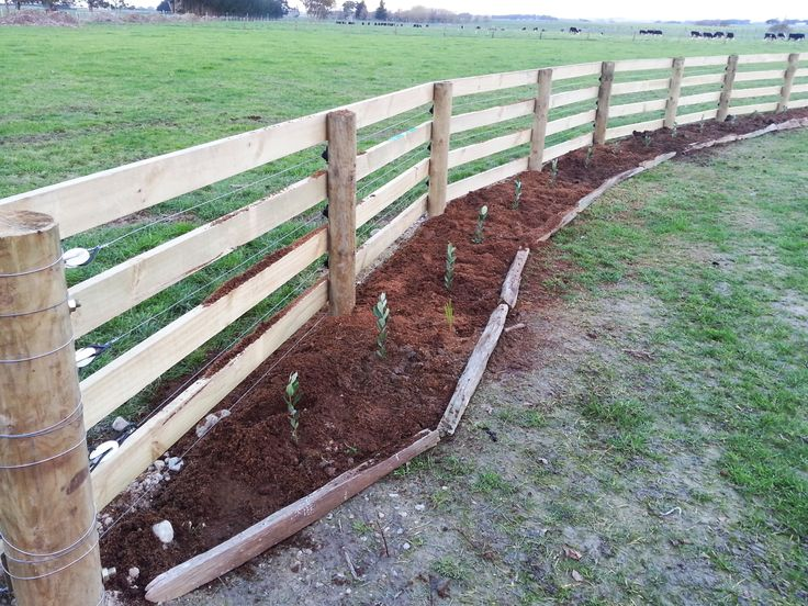 Fence and Feijoa Hedge