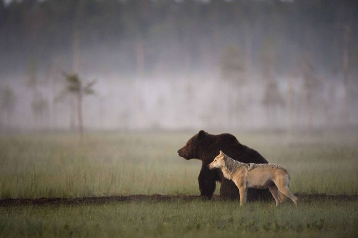 Friends: Bear and wolf companions in Finland. Lassi-rautiainen.