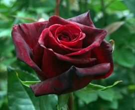 Black Magic - Standard Rose - Roses - Flowers by category | Sierra Flower Finder