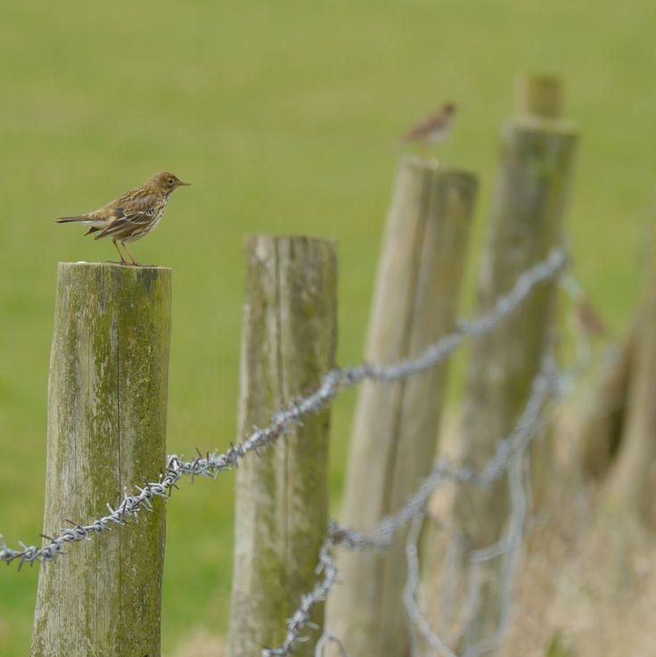 jump for joy2010 posted a photo:  Meadow pipit numbers in the UK have been declining since the mid-1970s, resulting in this species being included on the amber list of conservation concern. In winter they are quite gregarious and gather in small flocks. There was a small group of six flitting between the posts and tops of the hedges today and it was lovely to watch them having a preen and chat.