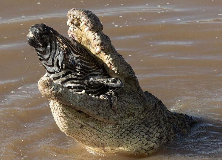 F&O Fabforgottennobility — malformalady:  Crocodile eating the head of a...
