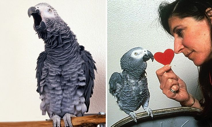 Alex, the parrot who learned to say 'I love you' - and mean every word! In an astonishing new book, a woman scientist says she's proved anim...
