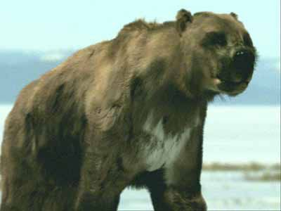 The Short Faced Bear (Arctodus simus) is the largest bear ever known to have existed. Like many of the megafauna in North America, this huge bear, sadly, became extinct around 10, 000 years ago.