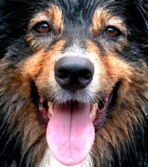 Les expressions faciales du chien et notamment le mouvement de ses sourcils trahiraient ses émotions