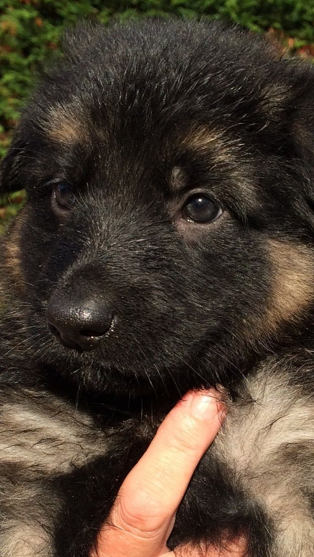 There faces are priceless!! #germanshepherdpuppy