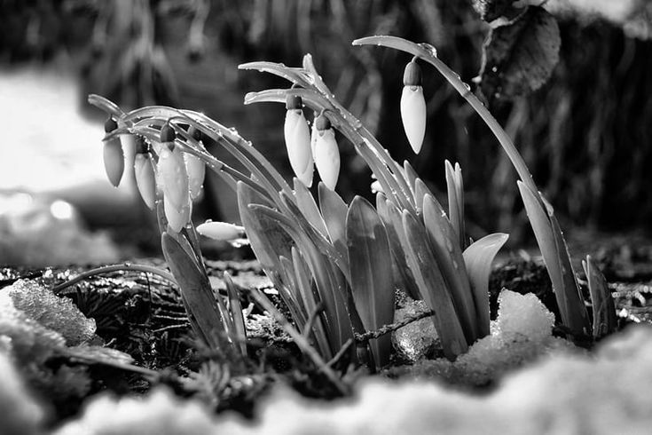 2013 snowdrops by Ioan  Bodean on 500px