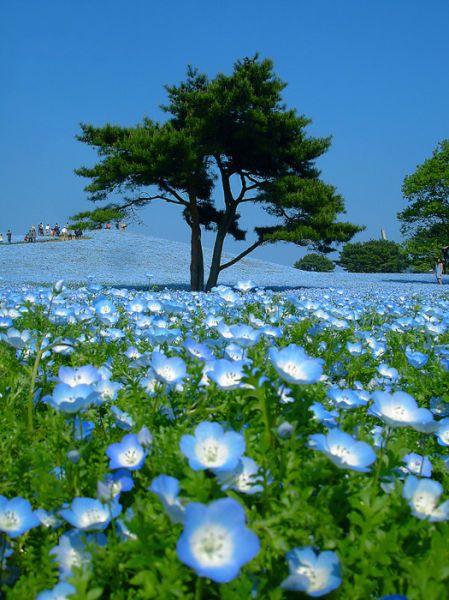 Blue fields, Hitachi Seaside Park, Japan,With an area of about 153ha,Hitachi seaside park boasts its a wide variety of seasonal flower gardens such as narcissus and tulip in spring , nemophila and rose in early summer , zinnia in summer and kochia and cosmos in autumn.  An amusement park is set up as an annex.