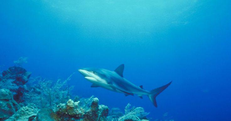 Como saber o sexo de um tubarão frenatus albino. Os tubarões frenatus, Epalzeorhynchos frenatus, não são fáceis de reproduzir em aquário doméstico, pois eles são altamente territoriais em espaços confinados. O albino é muito possessivo com seu espaço e também complicado para o sexo. Se pretende realizar esta tarefa desafiadora, ou apenas tem curiosidade de saber o sexo de seu peixe, existem ...