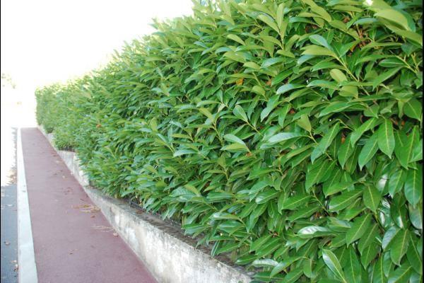Laurier 'Caucasica' is een populaire soort haagplant. Haagplanten.net heeft het beste assortiment haagplanten voor de beste prijzen. Welkom in onze shop!