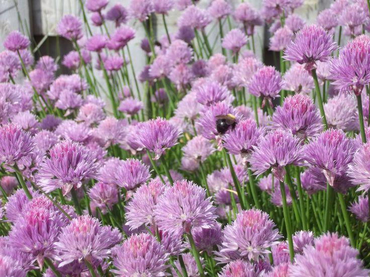 Green onion flowers.