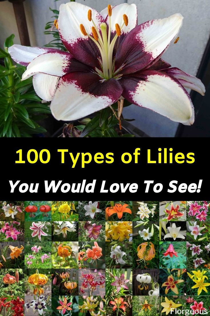 100 Different Types Of Lilies Types Of Lilies Lily Plants Different Types Of Lilies