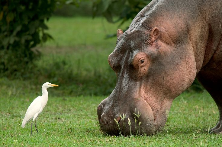 Curious bird and Hippo http://triptide.co.za/