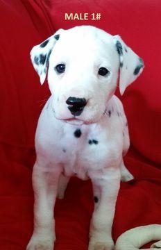 Litter of 3 Dalmatian puppies for sale in ELKMONT, AL. ADN-23435 on PuppyFinder.com Gender: Male. Age: 4 Weeks Old