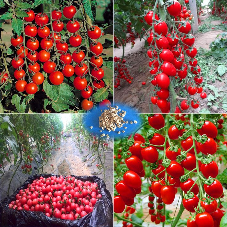 200 - Greek tomato seeds heirloom sweet gardening seeds plants non gmo vegetable seeds for home garden planting sent gift