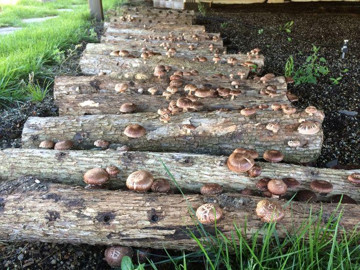 Urban shiitake mushroom logs NYC