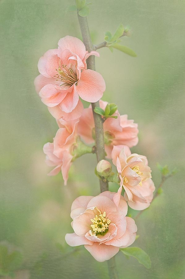 Peaches and Cream by Barbara Kile (this looks like a painting, but it's a photo!!)~~
