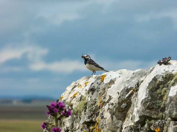 Pied wagtail (Motacilla alba) with food for its nestlings, on the wall of Munsary Cottage with marsh thistle (Cirsium palustre) below it, Munsary Peatlands Reserve, Caithness, Scotland.