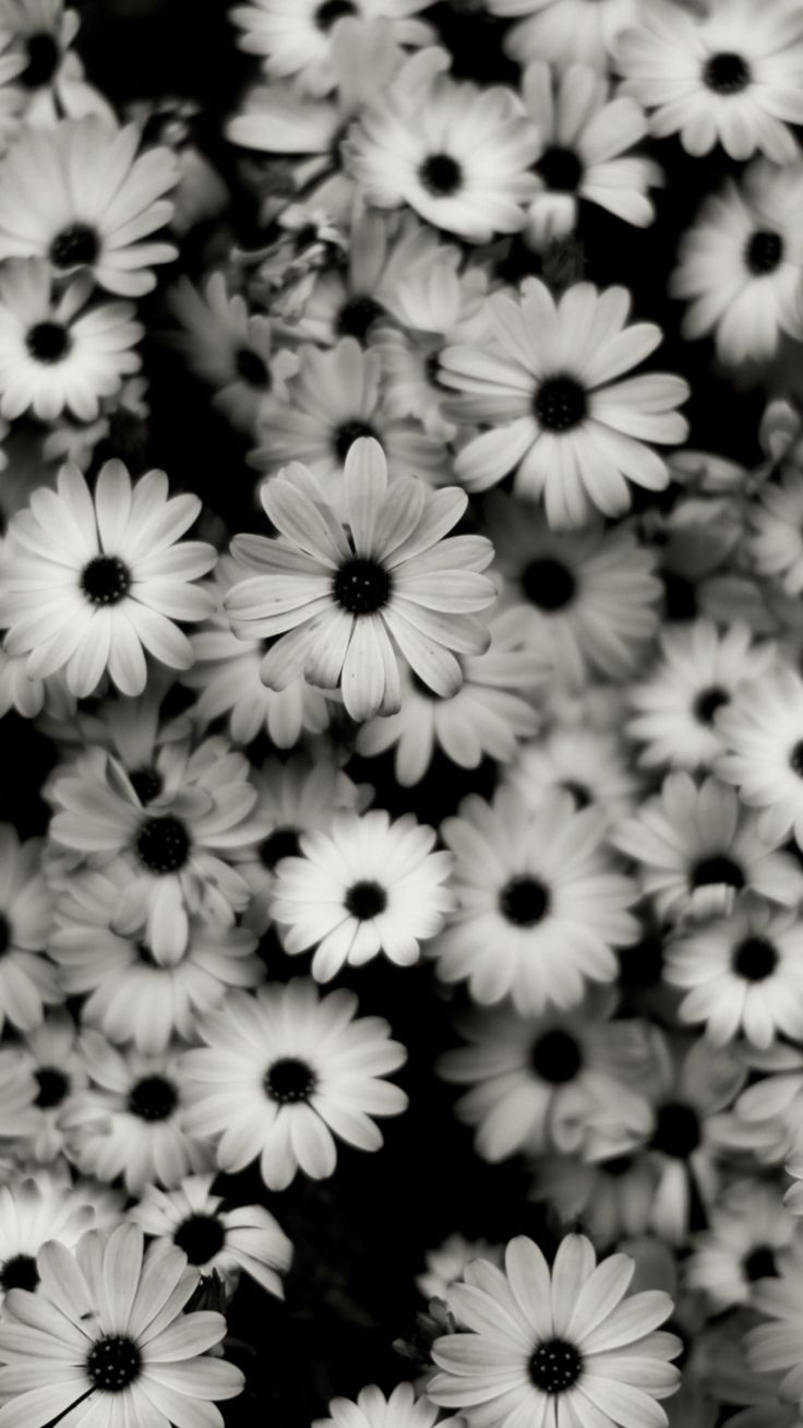 1440×2560 Preview Wallpaper Schwarz Weiß, Blumen, Grau, Gänseblümchen 1440×2560