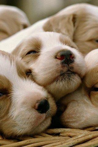 Dog, Cute, Sleep, Animal #CockerSpaniel #Puppy