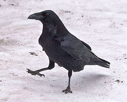 raven bird pictures | Chug Von Rospach, Yosemite National Park, California, December 2007 ...