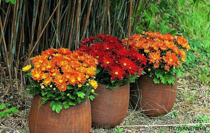 La început de toamnă, este o bucurie să îți decorezi curtea sau balconul cu ghivece pline de crizanteme în toate culorile.             Dar, de cele mai multe ori, cum vine frigul, plantele încep să se usuce și le...