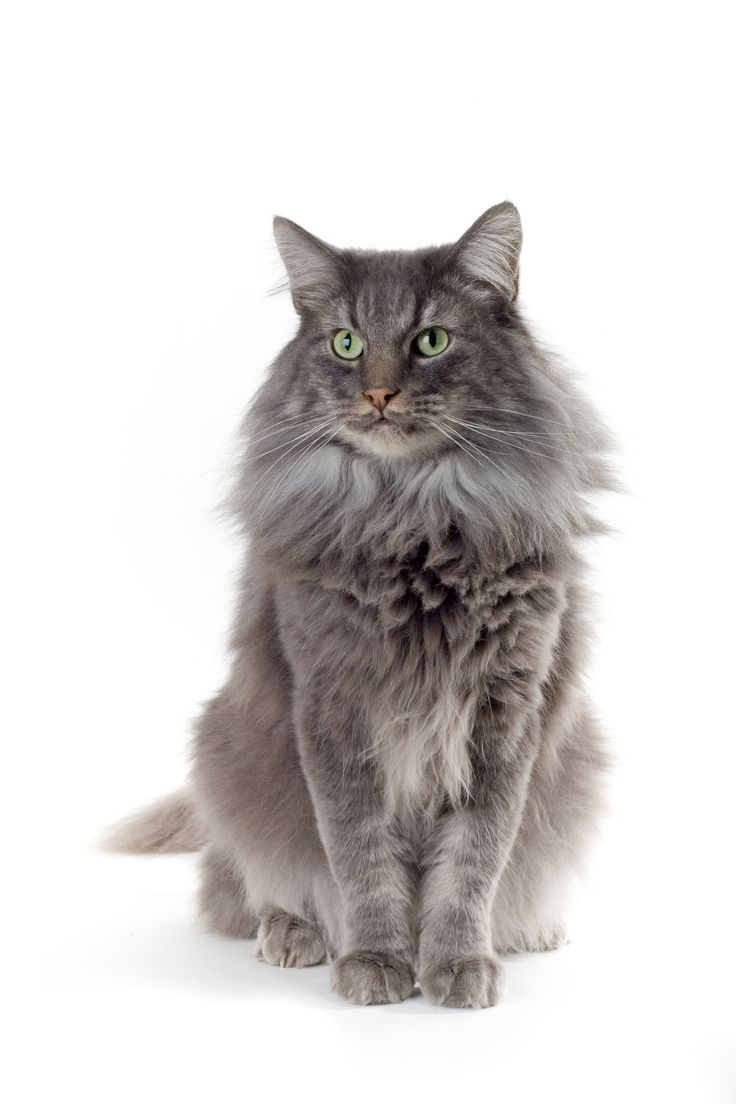 Maine Coon, my favorite cat breed. I want to have one and name it Hagrid C: