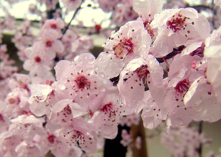 Cherry blossoms in the rain. Photo by Laurie Iwami