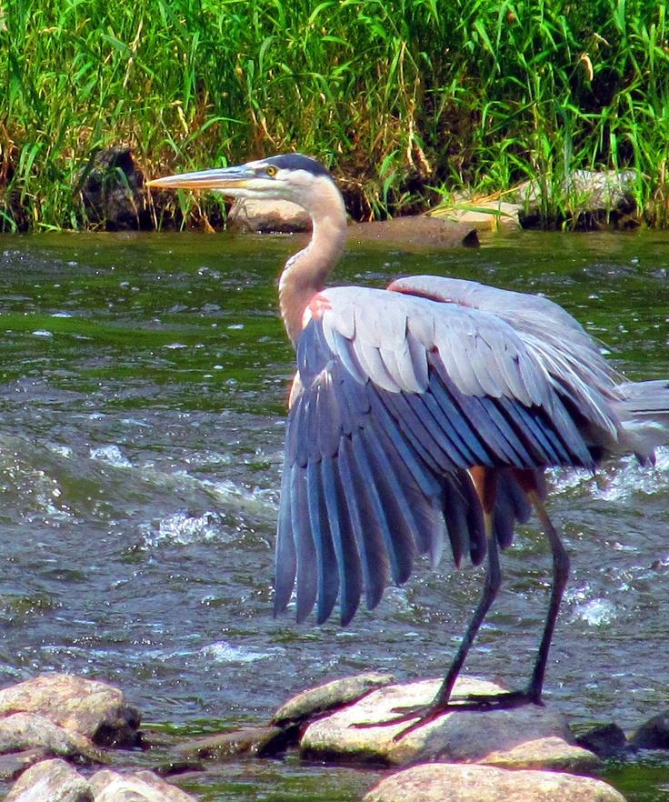 Great Blue Heron found along Rideau River near Vincent Massey Park, Ottawa, ON July 2012