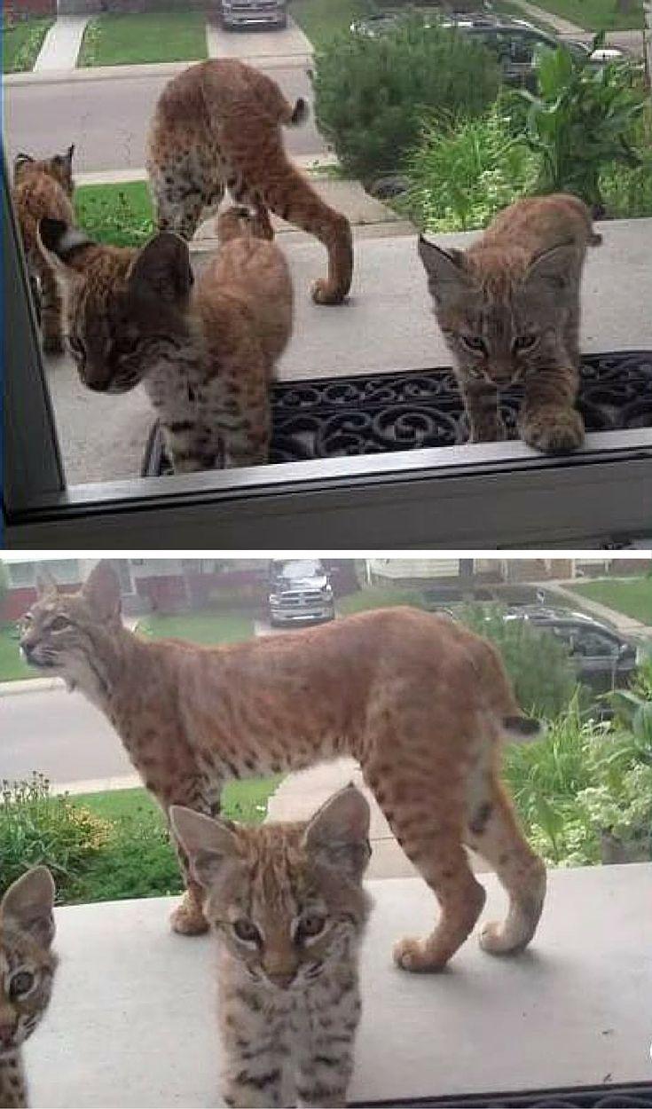 Bobcat And Her Kittens Surprise Woman At Her Door ...