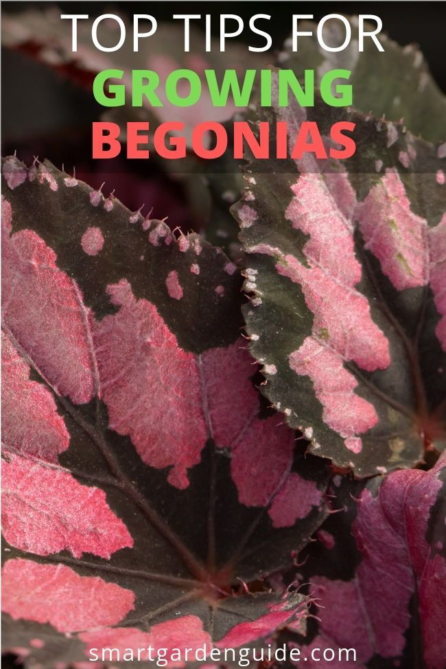 My Top Tips For Growing Begonias Indoors Begonia Houseplant Care