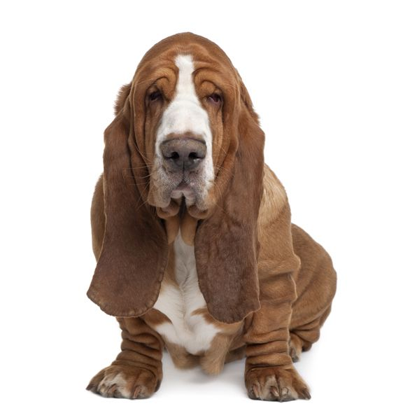 Known as the clown of the canine world, a Basset Hound is sure to bring you some laughs. The Basset Hound is a terrific family pet, because they are intelligent, easygoing, sociable, loving, and loyal. They are great with children and other dogs, and are friendly with strangers. They love to be part of the family and go for rides in the car, watch TV with you, and play in the yard. They are also prone to mischief.