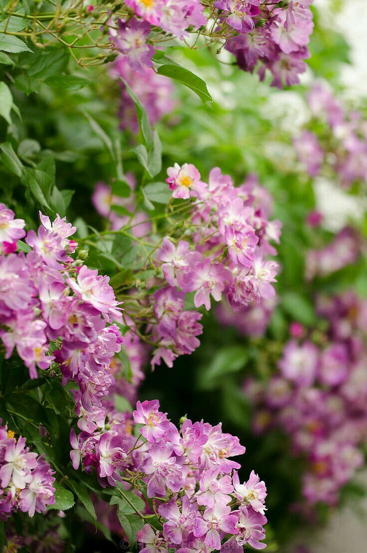 10 best Schöne Kletterpflanzen images on Pinterest | Climber plants ...