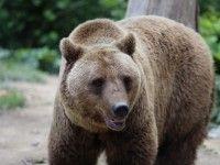 """La """"vânătoare"""" de urși… cu Canon"""