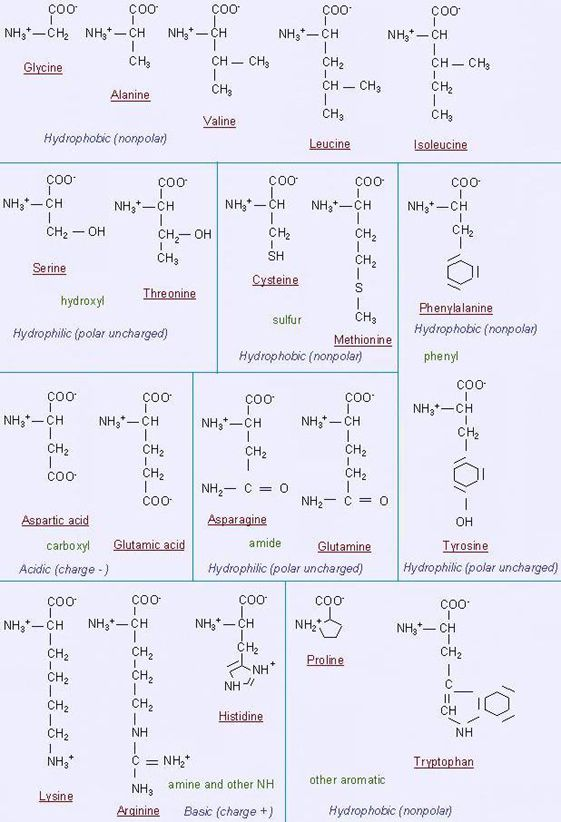 Studying Amino Amino: 18 Best Images About Amino Acids On Pinterest