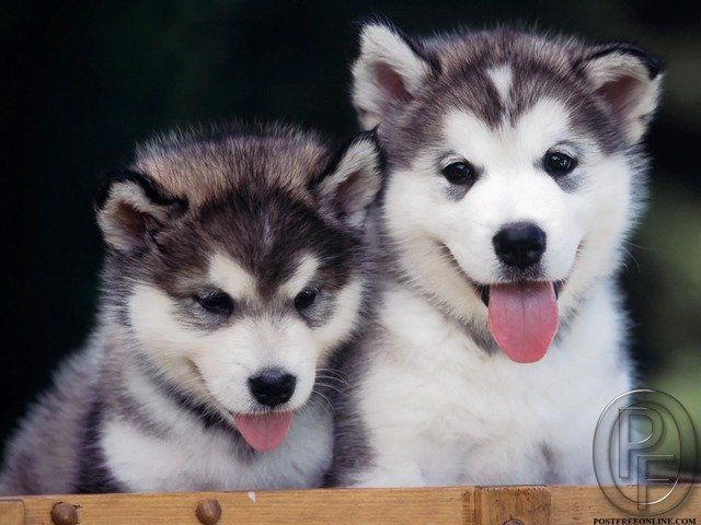 Cute Siberian husky puppies with blue eyes for sale. Very healthy and good linage. Certified husky puppies 35 to 45 days age. Interested buyers can come and take them home. Call 9699999338 to buy.
