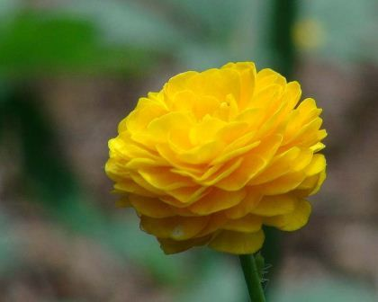 Ranunculus acris - as seen at the Chelsea Physic Garden. Late spring bloomer, delicately stunning. Cousin to the Buttercup.