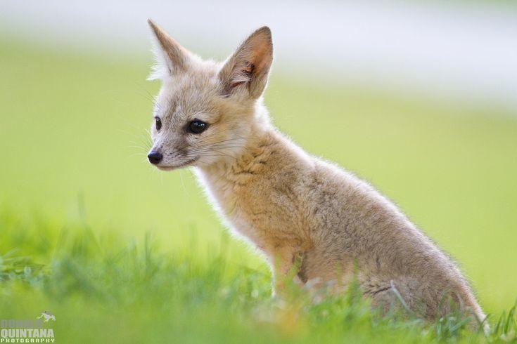 San Joaquin Kit Fox pup, Vulpes macrotis mutica, Urban car…   Flickr