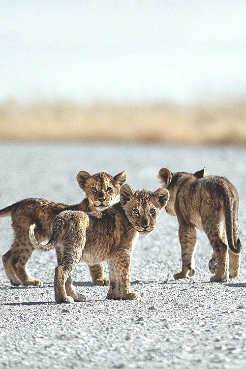 visualechoess:  Little cubs - by: Ben McRae