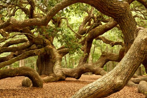 ancient angel oak tree is my favorite tree, it is breathtaking! #treehugger  #savetheplanet #ecofriendly #ecoliving