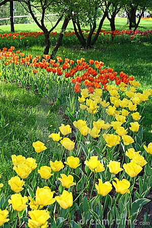 A lot of yellow and orange tulips with green grass