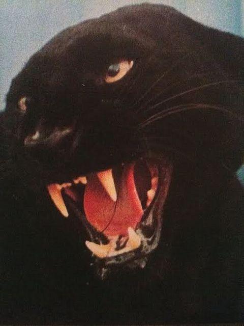 .: Animals, Black Cats, Art, Rainbows, Posts, Photo, Panthers, Gif