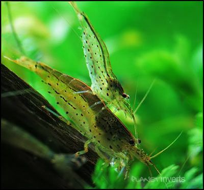 Amano Shrimp .:. Caridina multidentata .:. Freshwater Aquarium Shrimp Species Information Page