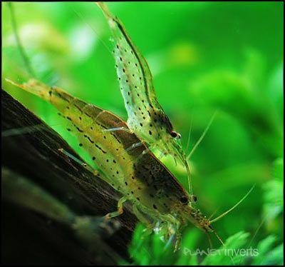 Amano Shrimp .:. Caridina multidentata .:. Freshwater Aquarium Shrimp Species Information Page