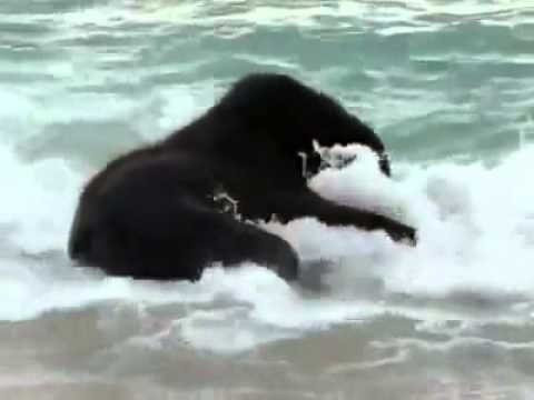 ▶ Baby elephant plays in the ocean for the first time. - YouTube