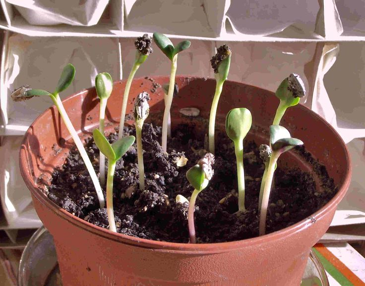A dozen sunflower seedlings coming up. 10th march 2014. Philip Weaver