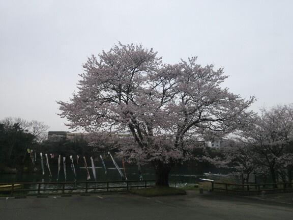 桜 その2 SAKURA 2